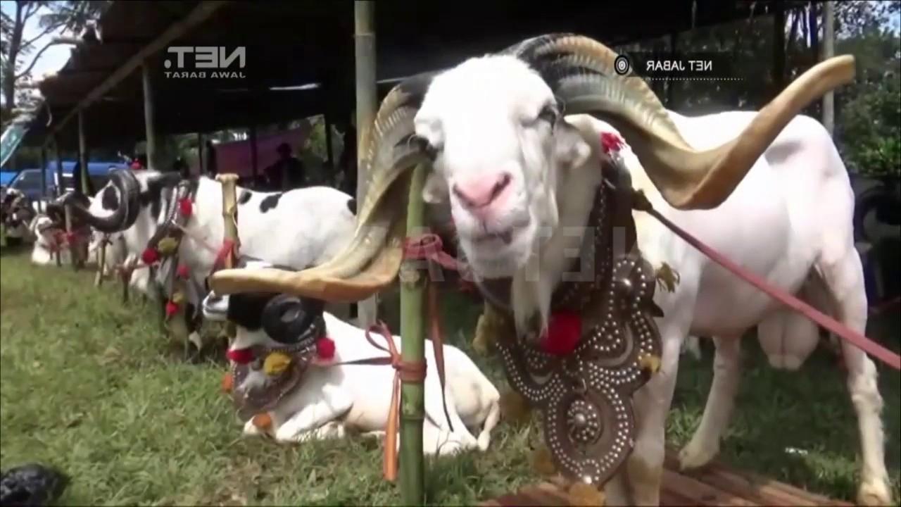 Net Jabar   Adu Ketangkasan Domba Garut Tingkatkan Harga Jual Ternak for Gambar Domba Diadu