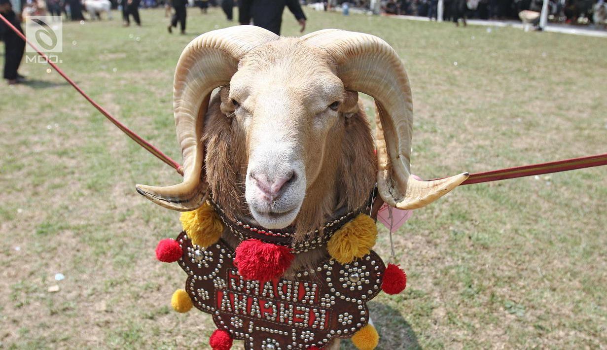 Photo: Intip Persiapan Domba Jelang Bertarung Di Jambore in Gambar Domba Diadu