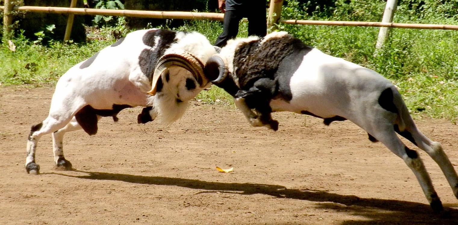 Politik Adu Domba Tidak Laku Di Pilpres 2019   Shnet for Gambar Domba Diadu