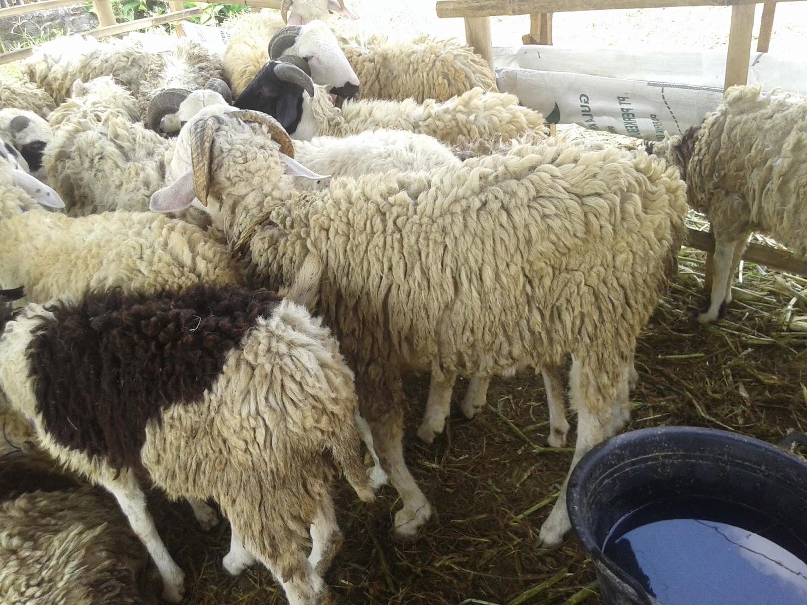 Prediksi Pasar Domba Dan Kambing | Majalah Infovet I Majalah for Gambar Domba Banyak