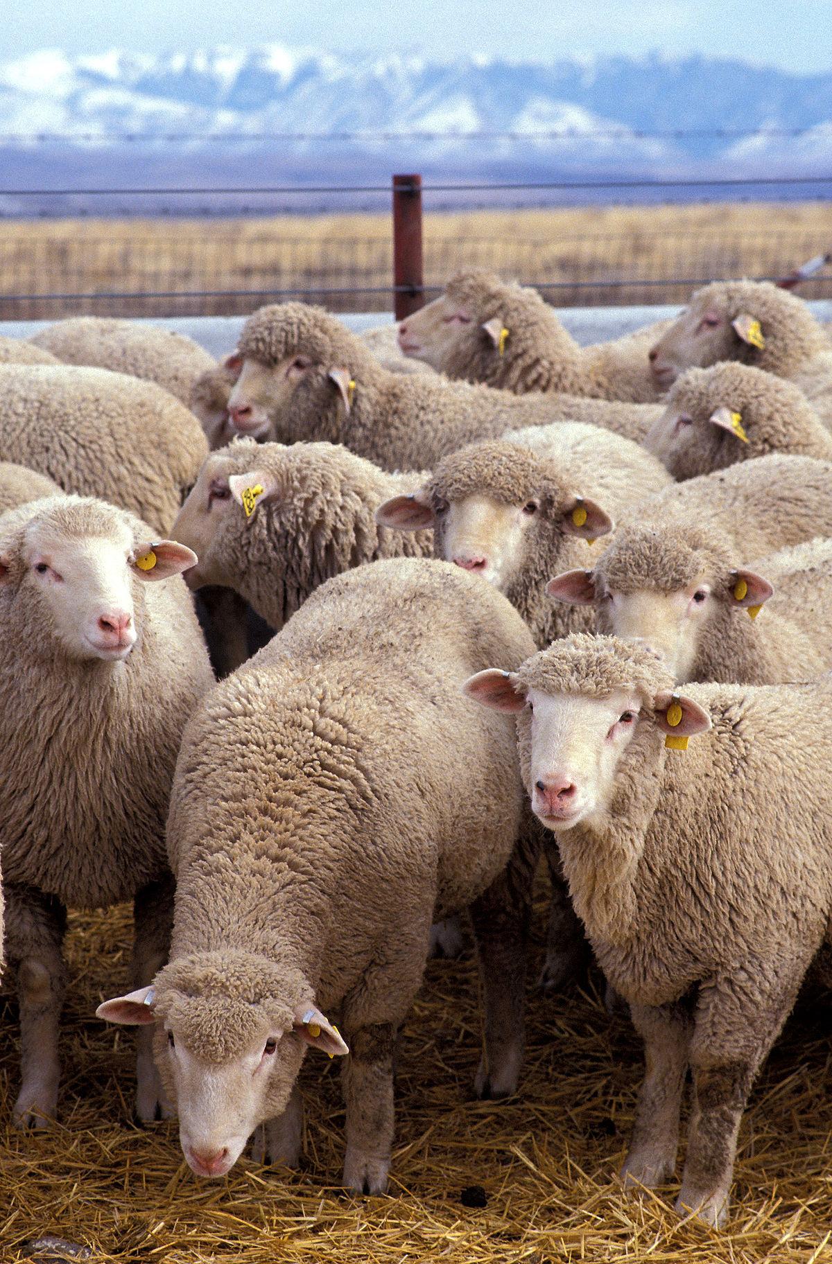 Sheep   Wikipedia regarding Gambar Domba Dorset
