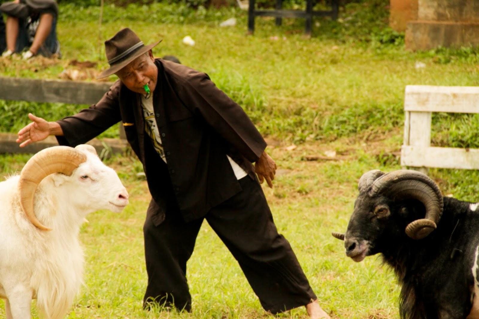 Tradisi Adu Domba Di Cijaringao   Elekesekeng with regard to Gambar Domba Diadu